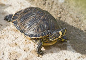 Red Turtle — Stock Photo