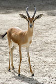 Young Gazelle — Stock Photo