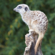 Stock Photo: Meerkat on Lookout