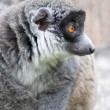 ring tailed lemur&quot — Stock Photo #3128873