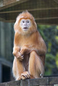 Golden Lion Tamarin Monkey — Stock Photo