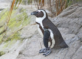 African Penguin — Stock Photo
