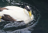 Eider Duck — Stock Photo