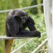 Gibbon Monkey - Stockfoto