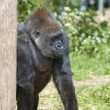 Gorilla — Stock Photo #3145812