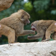 Two Baboons Fighting - Stock Photo