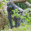 Lowland Gorilla — Stock Photo