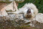 A Baboon resting — Stock Photo