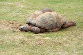 Giant AldabraTortoise — Stock Photo