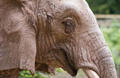 Closeup of an Elephant — Stock Photo