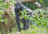 Gorille des plaines — Photo