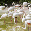 Stock Photo: Great Flamingo