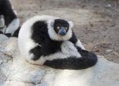 Black and White Ruffed Lemur — Stock Photo