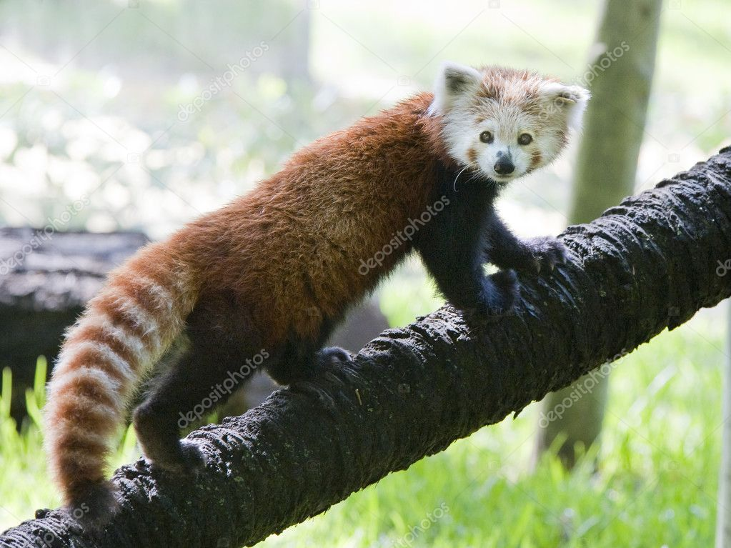 Red Panda climbing a tree — Stock Photo #3631455
