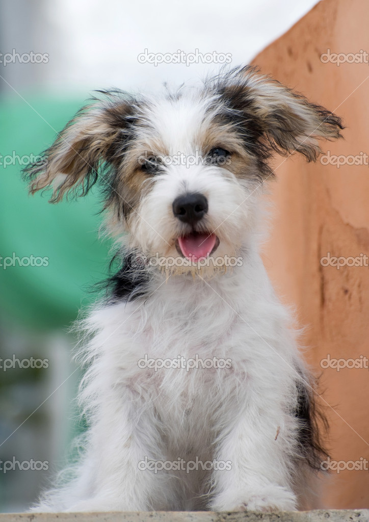 Long Hair Jack Russell Puppies Images & Pictures - Becuo