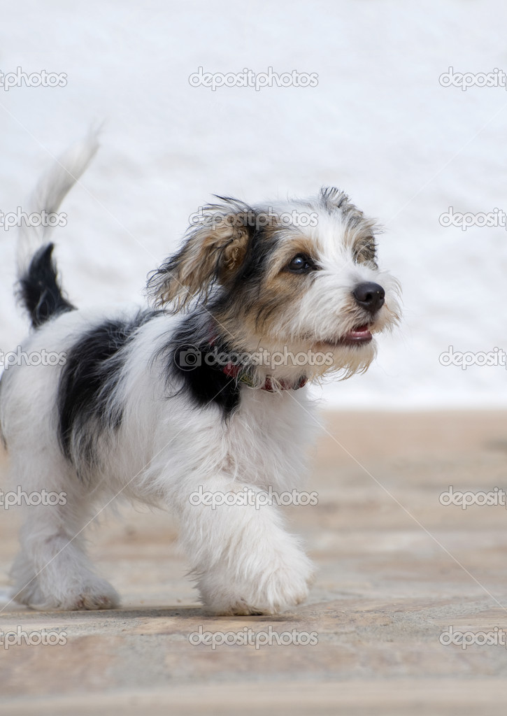 Eight week old Jack Russell Puppy — Stock Photo © fotomicar ...