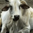 Stock Photo: Nelore-Zebu