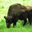 Stock Photo: Wisent (Bison bonasus)