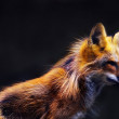 Young red fox (vulpes vulpes) in soft sunset light — Stock Photo