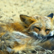 Sleeping young red fox (vulpes vulpes) — Stock Photo