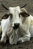 Nelore-Zebu — Stock Photo