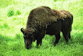 Wisent (Bison bonasus) — Stock Photo