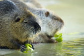 Nutria (Myocastor coypus) — Stock Photo