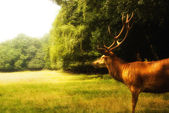 Red deer (Cervus elaphus) on a clearence — Stock Photo