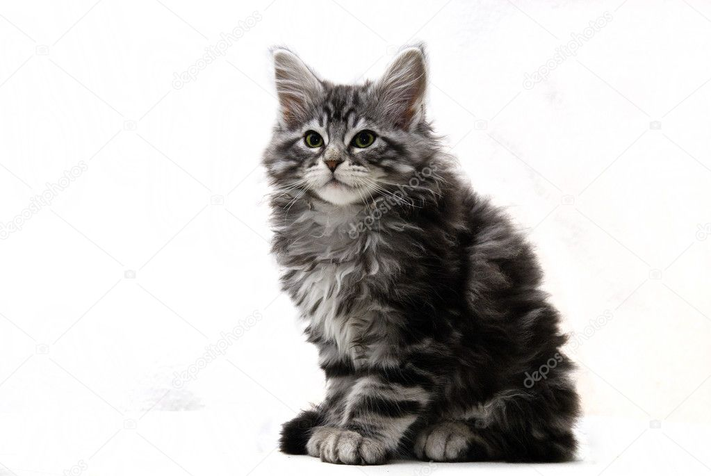 Cut-out of a sitting Main Coon Kitten  Stock Photo #3346947