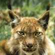 Stock Photo: Portrait of europelynx (lynx lynx)