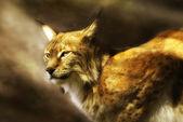 European lynx (lynx lynx) — Stock Photo