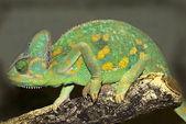 Yemen Chameleon (Chamaeleo calyptratus) — Stock Photo