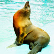 Sea lion (Otarriinae) sunbathing - Stock Photo