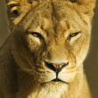 Stock Photo: Female Lion (pantherleo)