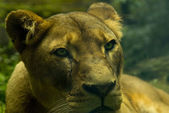 Female Lion (panthera leo) — Stock Photo