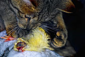 European wildcat (Felis silvestris) playing with prey — Stock Photo