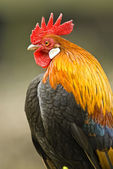 Portrait of a proud cock (gallus) — Stock Photo