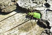 Green Tiger Beetle (Cicindela campestris) — Foto de Stock