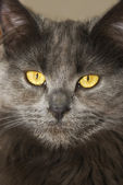 Серый кот Мейн-Кун — Стоковое фото