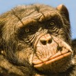 Portrait of Chimpanzee with fence shadows on its face — Stock Photo