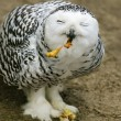 Stock Photo: Snowy Owl (Bubo scandiacus) feeding