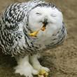 Snowy Owl (Bubo scandiacus) feeding — Stock Photo