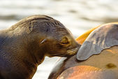 Young sea lion (Otarriinae) — Stock Photo