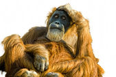 Sumatran Orangutan (Pongo abelii) cut out — Stock Photo
