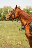 Bay stallion — Stock Photo