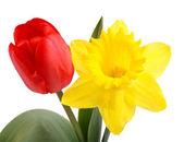 Tulip and Daffodil — Stock Photo