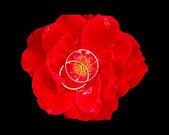 Snubní prsteny v červené růže — Stock fotografie