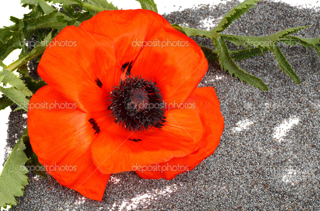 Цветы и семена мака