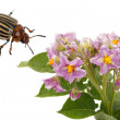 Stock Photo: Flowering potato and Colorado Beetle