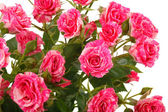 Background of pink roses — Stock Photo
